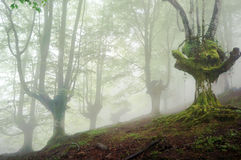 Gloomy forest with fog Royalty Free Stock Image