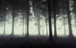 Gloomy forest with fog Royalty Free Stock Photos