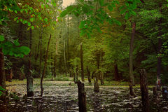 Gloomy forest landscape Royalty Free Stock Photo