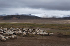 Gloomy  herding in Tibet. Sheep herding in Tsochen,west Tibet Stock Photo