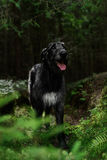 Gloomy Irish Wolfhound standing in the forest Stock Photo