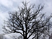Gloomy oak. A gloomy silhouette of a bare oak tree against cloudy skies Stock Images