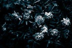 Gloomy peony in black and white. Stock Photo