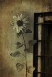 gloomy sunflower window stock image