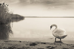 Gloomy Swan lake Stock Photography