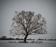 Gloomy tree. Against a gray sky Stock Images