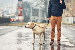 Man with dog in rain. Gloomy weather in the city. Man with his dog labrador retriever walking in rain on the street. Prague, Czech Republic stock images