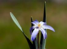 Gloria de la flor de la nieve Foto de archivo libre de regalías