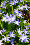 Gloria-de--neve del Lucile di fioritura Immagine Stock Libera da Diritti