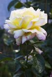 Gloria Dei-bloem Royalty-vrije Stock Foto's