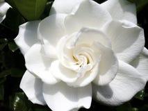 Gloria Gardenia. Zoomed in image of a Gardenia royalty free stock image