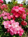 Gloria Mundi Rose Fotografia de Stock