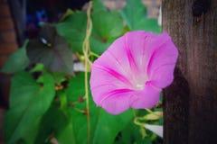 Gloria rosada Imágenes de archivo libres de regalías