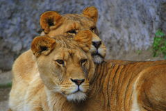 Gloria & Wanda Savannah predators lionesses. Lions Savannah predators female specimens portriat Royalty Free Stock Image