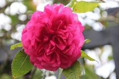 `Gloriana`  rose in rosesarium Boskoop Stock Images