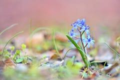 Glorie-van-de-sneeuw (luciliae Chionodoxa) Royalty-vrije Stock Fotografie