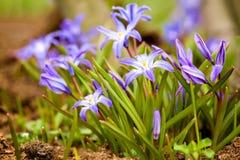Glorie-van-de-sneeuw (luciliae Chionodoxa) Royalty-vrije Stock Foto's