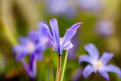 Glorie-van-de-sneeuw (luciliae Chionodoxa) Stock Foto's