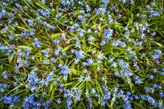 Glorie-van-de-sneeuw van de lente de blauwe bloemen Stock Fotografie