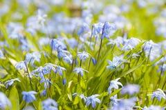 Glorie-van-de-sneeuw van de lente de blauwe bloemen Stock Afbeelding