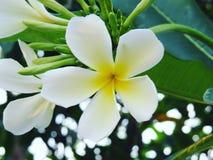 Glorierijke frangipani (plumeria), in natuurlijk licht Royalty-vrije Stock Foto