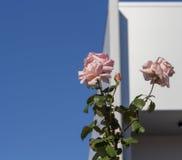 Glorierijke romantische mooie bleke zalm roze volledig geblazen rozen die in de herfst bloeien royalty-vrije stock foto
