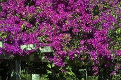 Glorieta alineada de poca buganvilla Imagenes de archivo