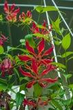 Gloriosa πανέμορφο - ένα όμορφο τροπικό λουλούδι Στοκ φωτογραφία με δικαίωμα ελεύθερης χρήσης