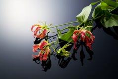 gloriosa цветка тропическое Стоковая Фотография