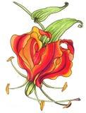 Gloriosa Цветки и листья - фоновое изображение акварели - декоративный состав Используйте напечатанные материалы, знаки Стоковое фото RF