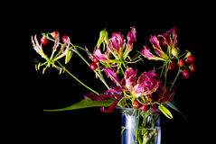 Gloriosa Royalty Free Stock Image