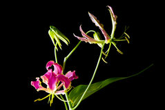 Gloriosa Royalty Free Stock Photos
