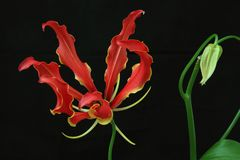 Gloriosa in black background. Pictured gloriosa in black background Royalty Free Stock Images