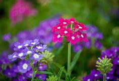 Gloriosa Daisy Stock Images