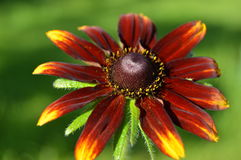Gloriosa Daisy Rudbeckia Royalty Free Stock Images