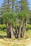 Gloriosa de yucca Images libres de droits