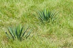 Gloriosa dell'yucca Fotografia Stock Libera da Diritti