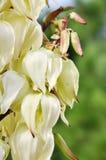 Gloriosa floreciente de la yuca fotografía de archivo libre de regalías