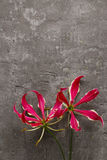 Gloriosa flowers on grey stone background. Copy space Stock Image