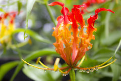 Gloriosa (genus). Gloriosa is a genus of ten species in the plant family Colchicaceae, and include the formerly recognised genus Littonia. They are native in Stock Photos