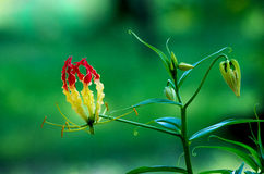 Gloriosa lily Royalty Free Stock Image