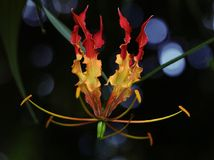 Gloriosa lily Stock Image