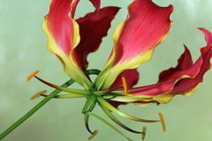 Gloriosa Lily. Gloriosa superba closeup Stock Photo