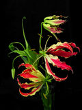 Gloriosa Superba. Or Glory Lily are very unusual red flowers that look like flames, presented in a vase against a black background. They are prized for their Royalty Free Stock Photos