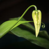 Gloriosa superba. Bud of Gloriosa superba isolated on black Royalty Free Stock Photography