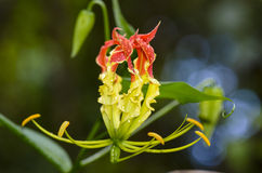 Gloriosa Superba or Climbing Lily flower Royalty Free Stock Image