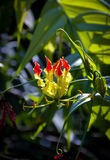 Gloriosa superba Royalty Free Stock Photography