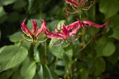 Gloriosa-superba sch?ne Blumen stockbilder