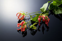 Gloriosa, tropical flower Stock Photography