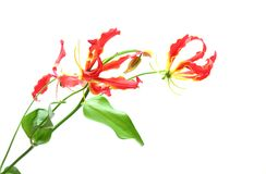 Gloriosa in a white background. Pictured  Gloriosa in a white background Stock Photo